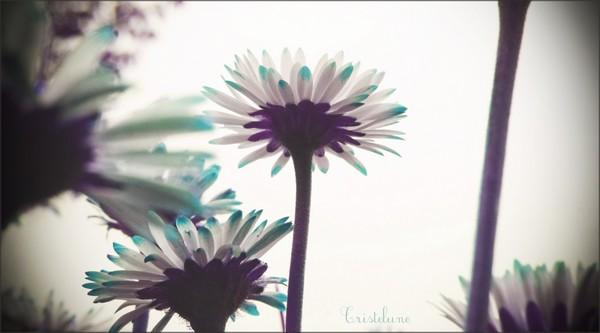 http://anicroche.cowblog.fr/images/Photos/paquerettesptt.jpg