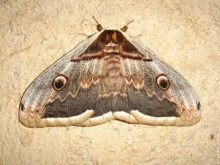 http://anicroche.cowblog.fr/images/papillonnocturne.jpg